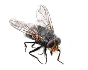 Common Fly Isolated On A White Background, The Fly Is A Carrier