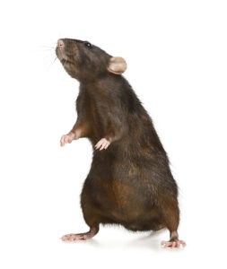 Little Brown Rat On White Background. Pest Control