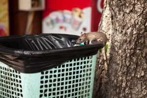 Rat on Bin